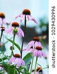 Echinacea  coneflowers  plants