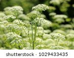 ground elder  herb gerard ... | Shutterstock . vector #1029433435