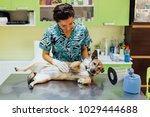 Small photo of Professional veterinarian woman palpates some lymph nodes in a canine patient