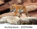 Tiger on the prowl - stock photo