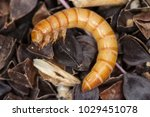 mealworms are the larval form... | Shutterstock . vector #1029451078