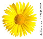 yellow daisy isolated on a... | Shutterstock . vector #1029458932