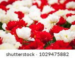 a flowerbed of red and white... | Shutterstock . vector #1029475882