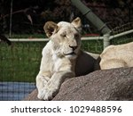 white lion at the zoo      ... | Shutterstock . vector #1029488596