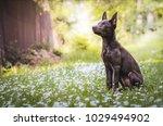 australian kelpie puppy | Shutterstock . vector #1029494902