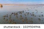 eurasian coot  on the lake.... | Shutterstock . vector #1029504946