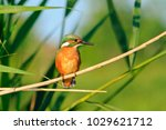 common kingfisher sitting on a... | Shutterstock . vector #1029621712