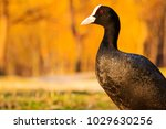 coot standing on the shore on a ... | Shutterstock . vector #1029630256