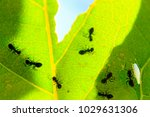 black ants cut patterns on a... | Shutterstock . vector #1029631306