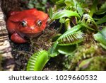 flytrap area. red frog in... | Shutterstock . vector #1029660532
