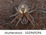 Small photo of Lace webbed spider (Amaurobius fenestralis ) sitting on wood, extreme close up with high magnification, focus on eyes