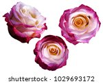 set pink white yellow roses on... | Shutterstock . vector #1029693172