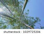 tall trees rising skyward... | Shutterstock . vector #1029725206