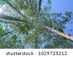 tall trees rising skyward... | Shutterstock . vector #1029725212