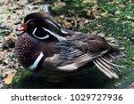 Portrait Of Duck. Close Up...