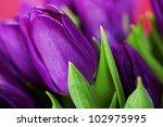 Beautiful Purple Tulips   Close ...