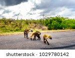 hyena family crossing a road in ... | Shutterstock . vector #1029780142