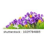 beautiful crocus flowers in...   Shutterstock . vector #1029784885