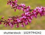 view of blooming red bud tree... | Shutterstock . vector #1029794242