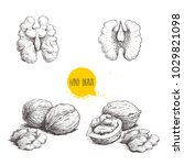 hand drawn sketch style walnuts ... | Shutterstock .eps vector #1029821098
