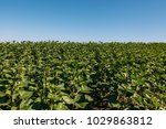sunflowers on the field | Shutterstock . vector #1029863812