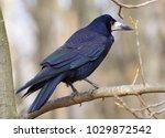 big black crow in the autumn... | Shutterstock . vector #1029872542