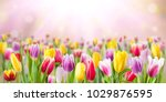 Tulip Flowers Meadow  Selectiv...