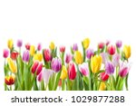 Tulip Flowers Isolated On White ...