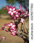 Small photo of A vertical, front lit, colour image of an impala lily, Adenium multiflorum, in bloom in Gonarezhou National park, Zimbabwe.