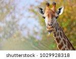 giraffe gets her tongue out ... | Shutterstock . vector #1029928318