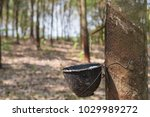 latex flows from para rubber... | Shutterstock . vector #1029989272