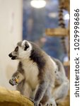 Small photo of Ringtail cat lemur