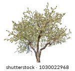 blooming apple tree isolated on ... | Shutterstock . vector #1030022968