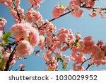 spring cherry blossoms | Shutterstock . vector #1030029952
