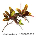 Stock photo codiaeum variegatum garden croton or variegated croton foliage with flowers croton leaves on 1030035592