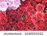 chrysanthemum wallpaper... | Shutterstock . vector #1030052032