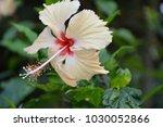 hibiscus  flower white | Shutterstock . vector #1030052866