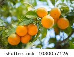 mandarin tree with ripe fruits. ... | Shutterstock . vector #1030057126