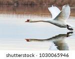 white swan flies beautifully... | Shutterstock . vector #1030065946