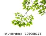 Beech Leaves On White...