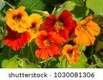 Flowering Nasturtium  Lat....