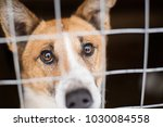 Stock photo the homeless dog behind the bars looks with huge sad eyes with the hope of finding a home and a host 1030084558