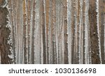 Snow Covered Pine Trees In...