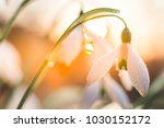 snowdrops  galanthus  in the...   Shutterstock . vector #1030152172