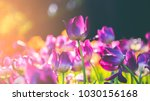 Group of colorful tulip. purple ...
