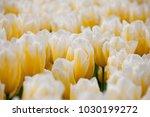 sweetheart tulips close up | Shutterstock . vector #1030199272