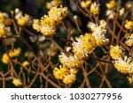 Edgeworthia chrysantha  ...