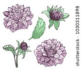 dahlia flowers set of drawings. ... | Shutterstock .eps vector #1030311898
