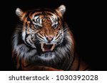 Sumatran tiger (Panthera tigris sumatrae) beautiful animal and his portrait - stock photo