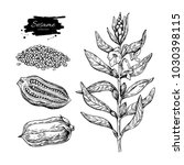 Sesame Plant Vector Drawing....
